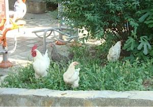 horozlar tavuklar